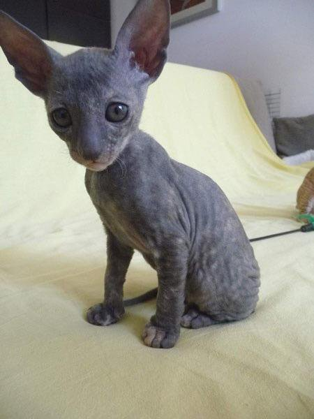 50 Very Cute Cornish Rex Kitten Pictures And Photos
