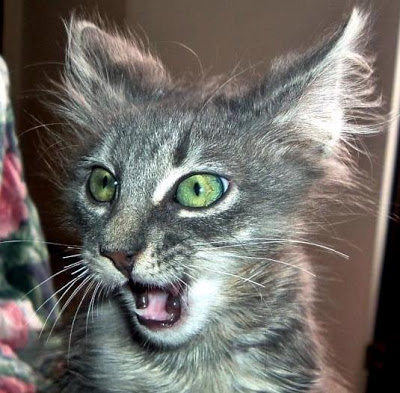 20 Very Beautiful Dark Turkish Angora Cat Photos And Pictures