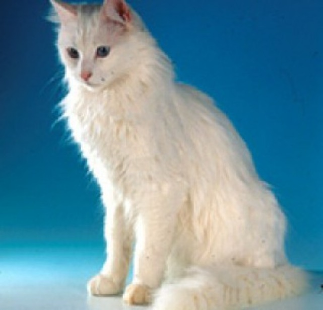 Hairy Turkish Angora Cat Sitting