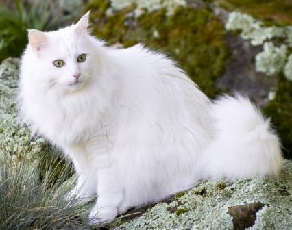 30 Awesome White Turkish Angora Cat Photos And Images