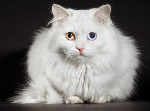 40 Most Adorable Turkish Angora Cat Pictures And Images