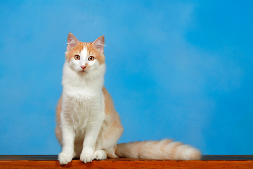 36 Very Beautiful Orange Turkish Angora Cat Pictures And ...