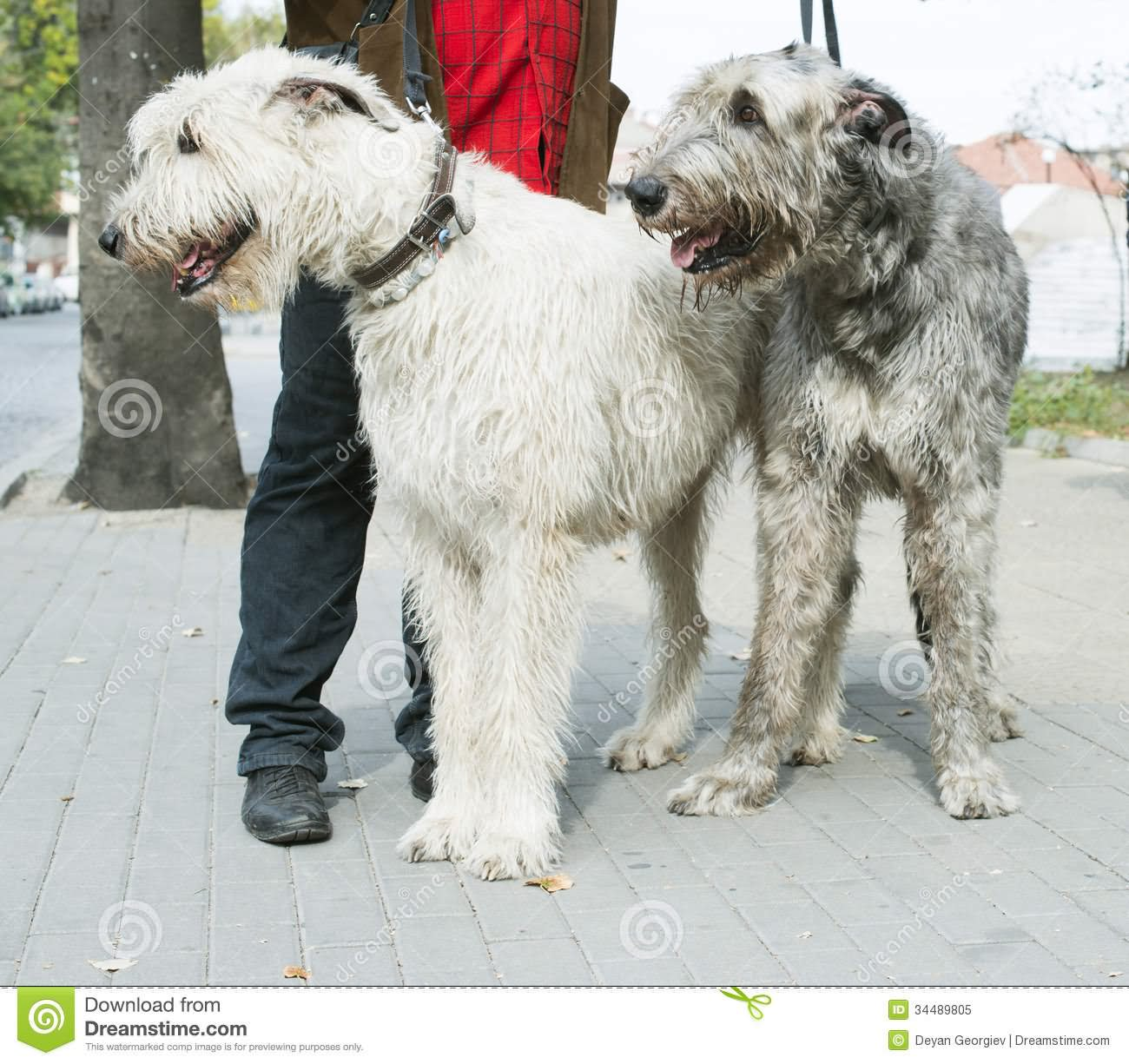 30 Very Beautiful White Giant Schnauzer Pictures And Images