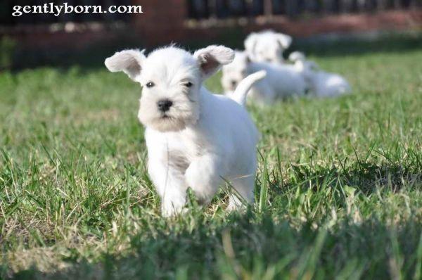 Schnauzer puppy running