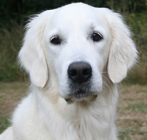 50 Most Stunning White Golden Retriever Photos And Images