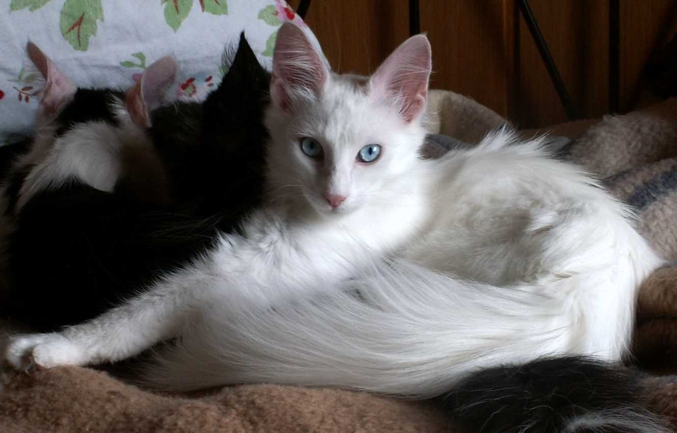 Turkish angora cat with blue eyes