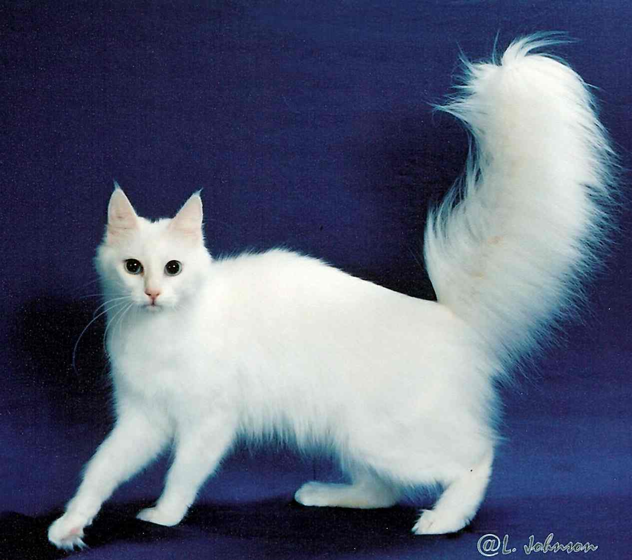 What do angora cats look like