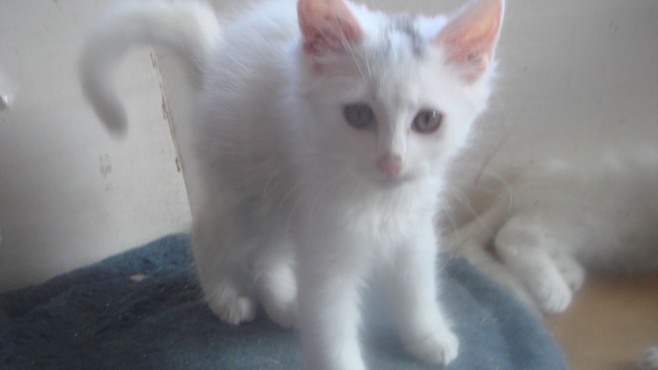 44867052d8 40 Most Adorable Turkish Angora Cat Pictures And Images
