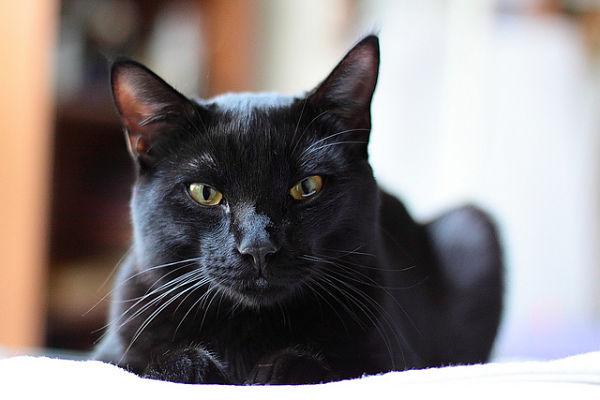 Description + Cat = Game! - Page 3 Adult-Bombay-Cat-Picture