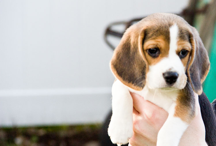 40 Very Cute Beagle Puppies Pictures And Images