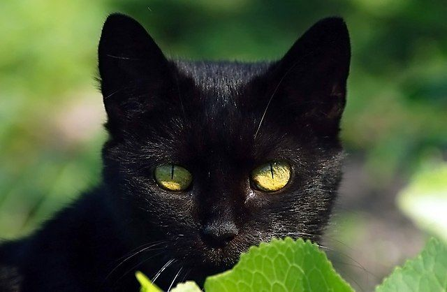 Beautiful Black Bombay Cat With Yellow Eyes