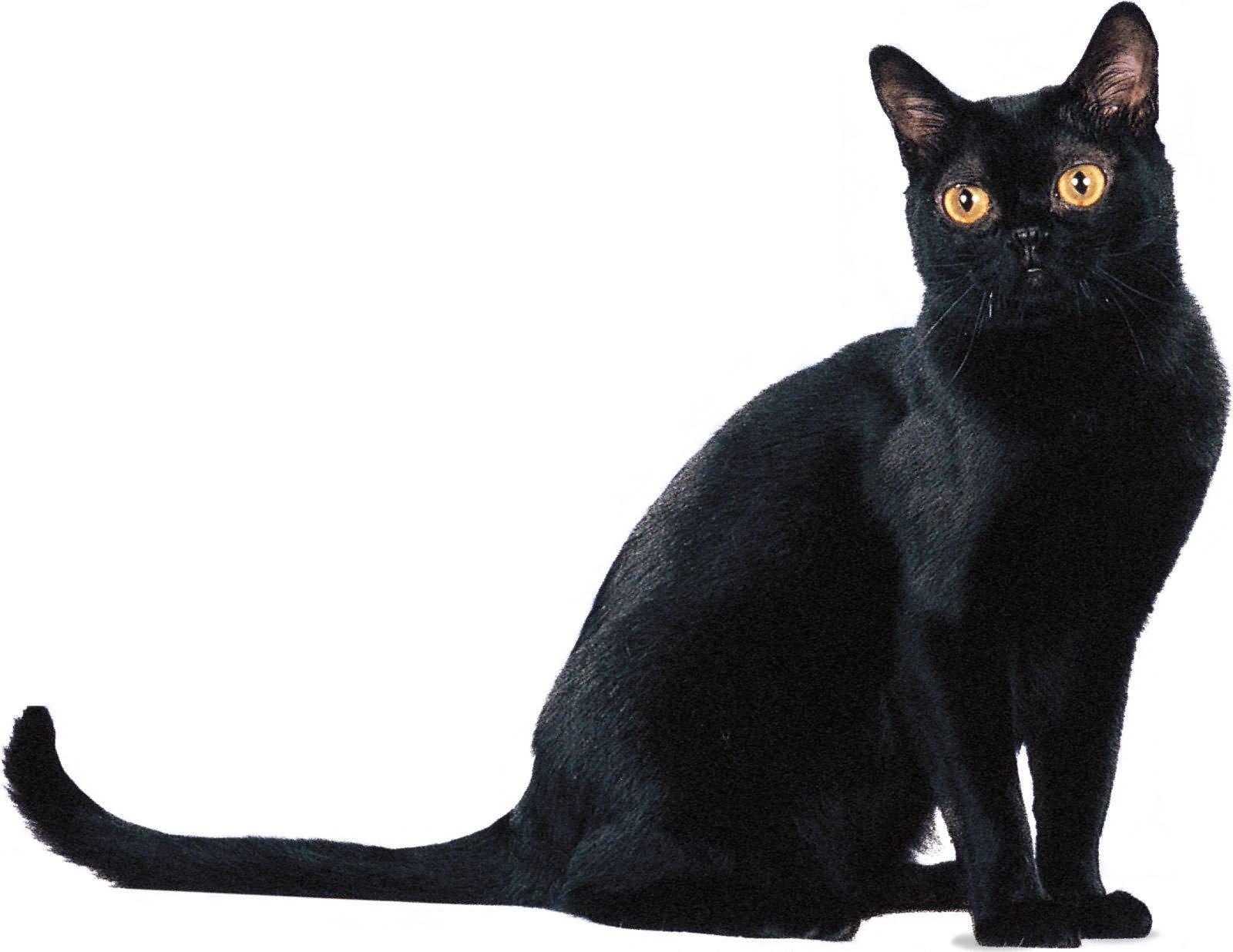 Black Cats Yellow Eyes Breeding