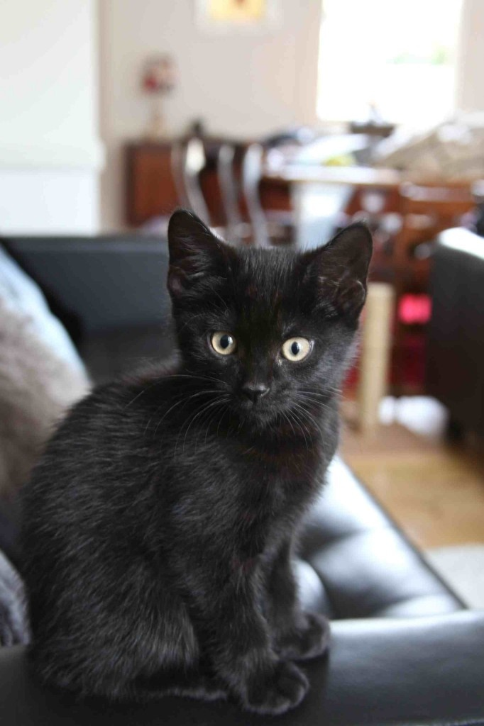 40 Very Cute Bombay Kitten Pictures And Images