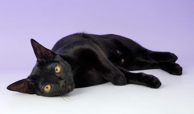 30 Very Beautiful Bombay Cat Photos And Images