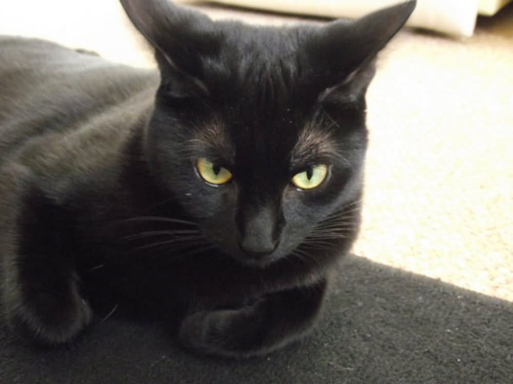 Black Bombay Cross Cat