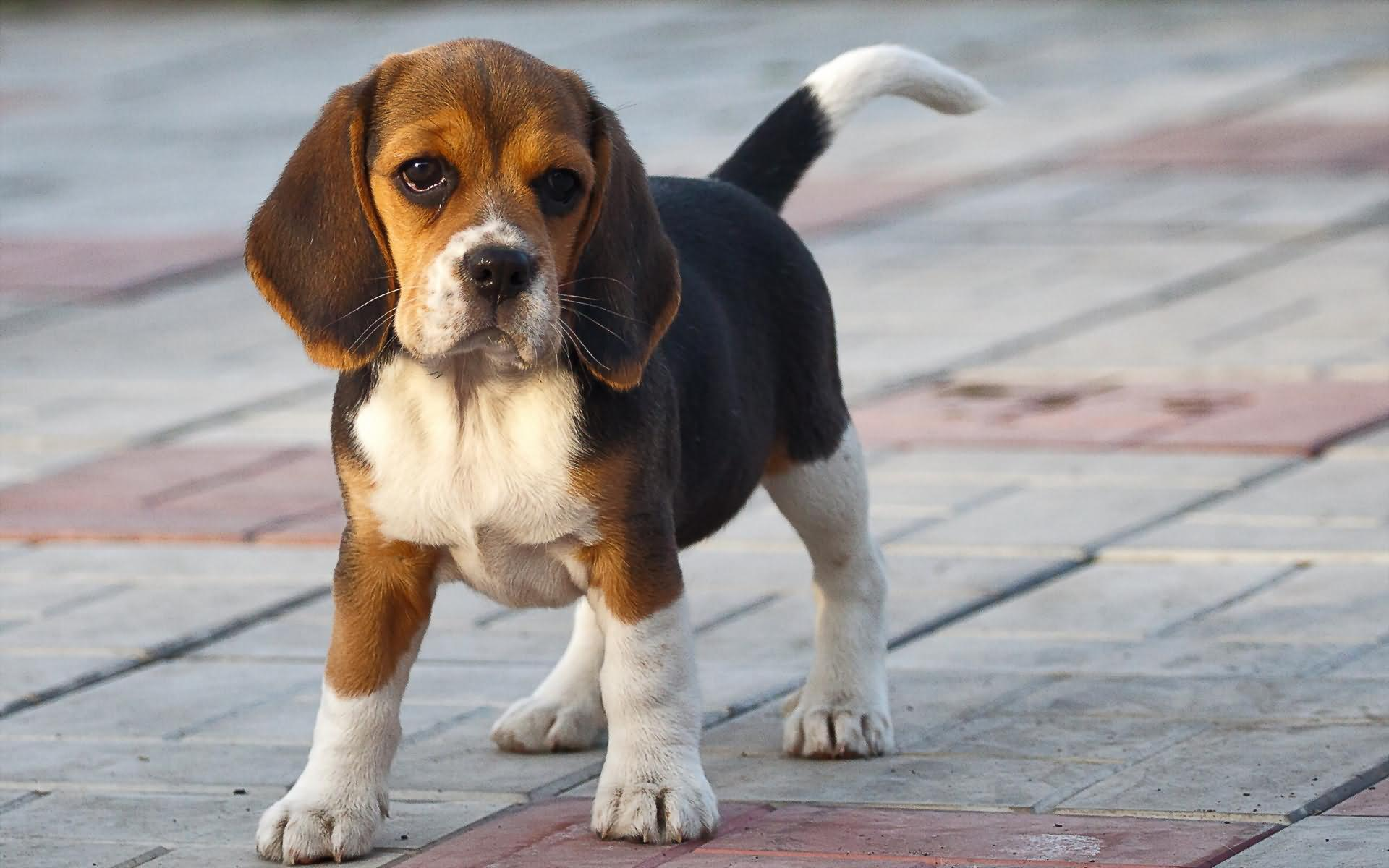 Most Inspiring Tiny Beagle Adorable Dog - Cute-Beagle-Puppy-Picture  Trends_38533  .jpg