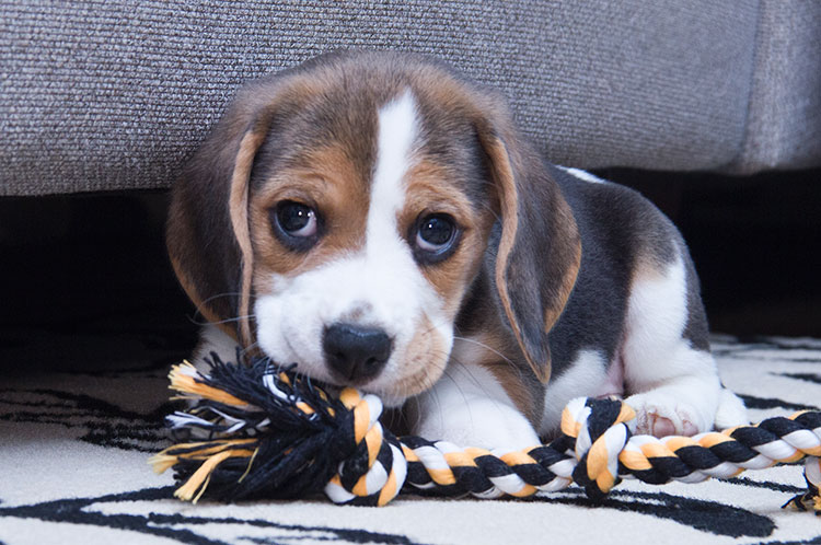 40 very cute beagle puppies pictures and images cute beagle puppy playing voltagebd Image collections