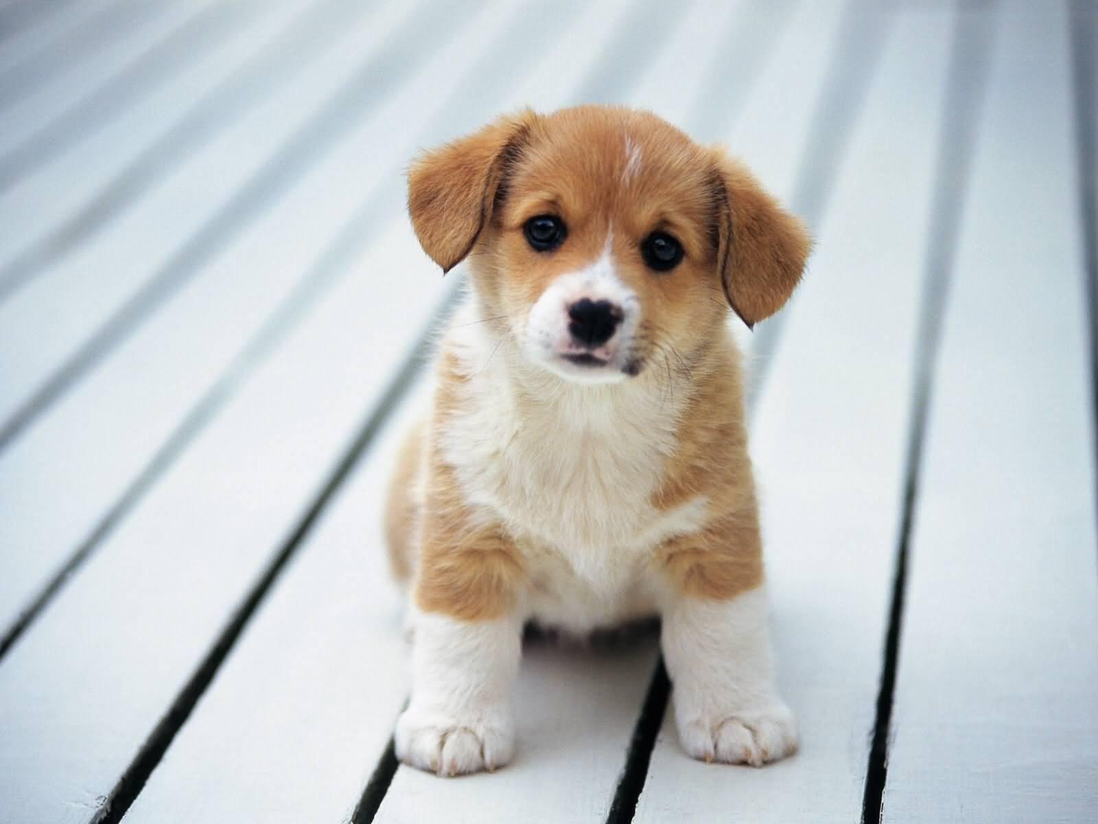 Cute Beagle Puppy Sitting Picture