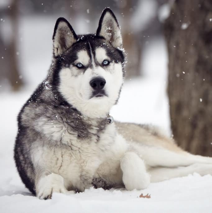 Full Grown Siberian Husky Dog In Snow