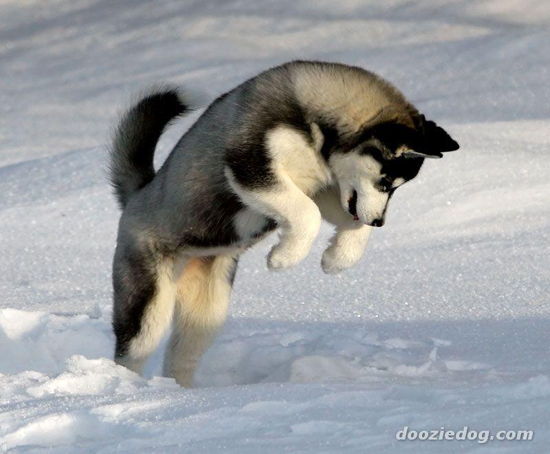 50 Very Beautiful Siberian Husky Dog Photos And Pictures