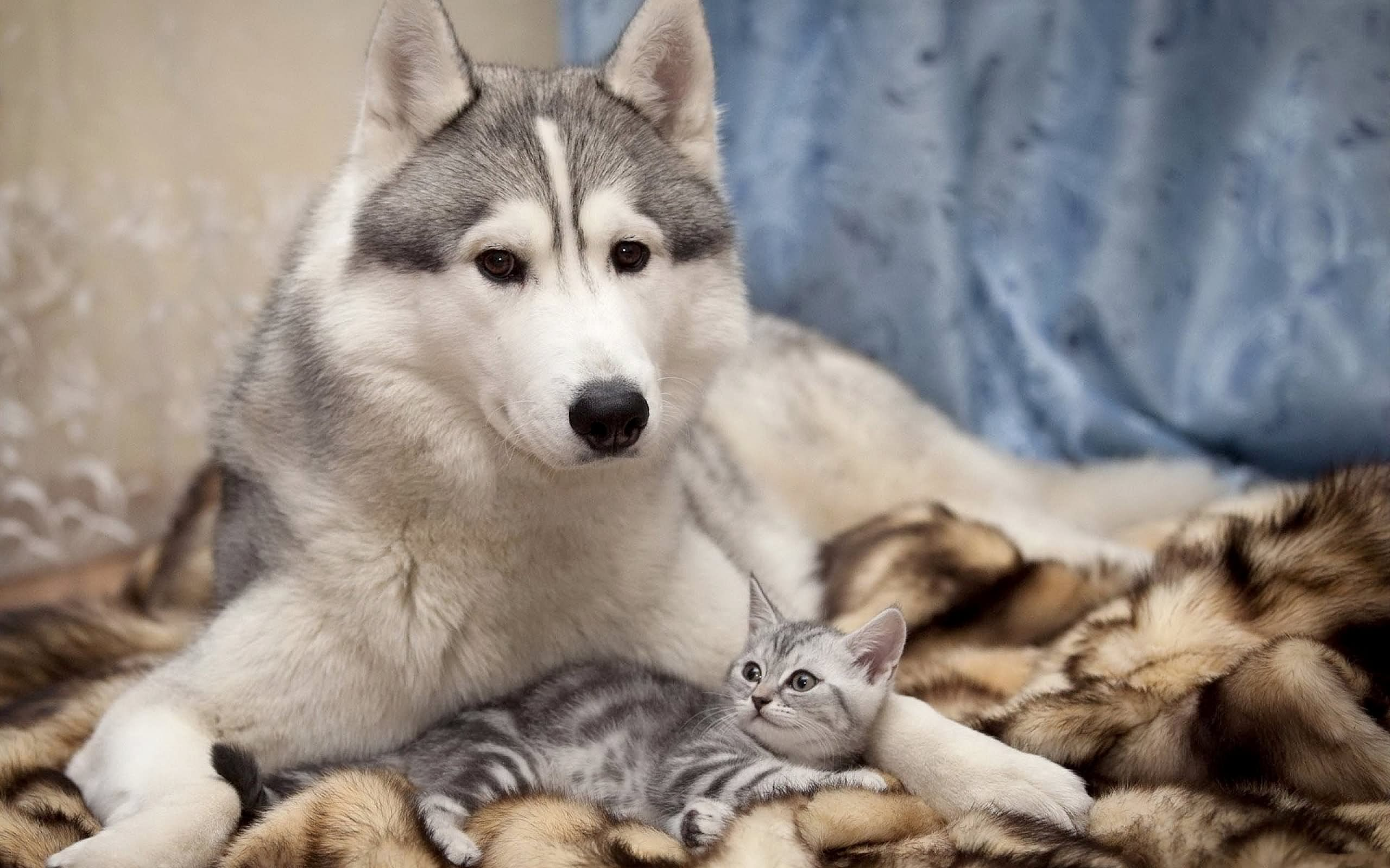 50 very beautiful siberian husky dog photos and pictures