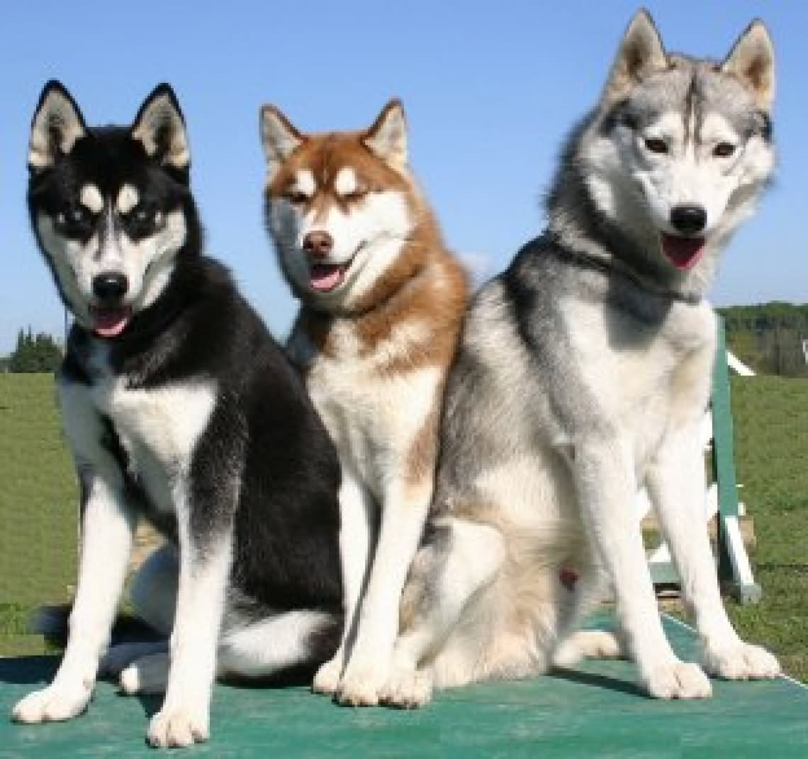 50 very beautiful siberian husky dog photos and pictures. Black Bedroom Furniture Sets. Home Design Ideas
