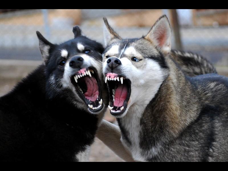angry husky puppy - photo #17