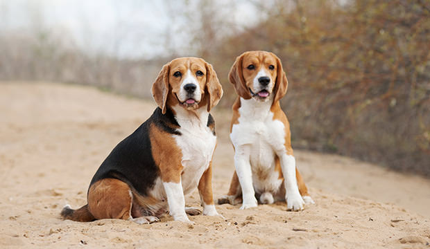 Top Two Beagle Adorable Dog - Two-Beagle-Dogs-Sitting  Gallery_361652  .jpg