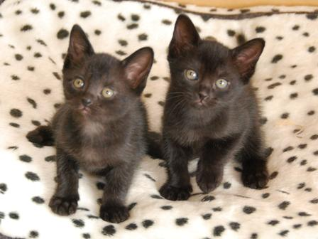 very cute bombay kitten pictures and images