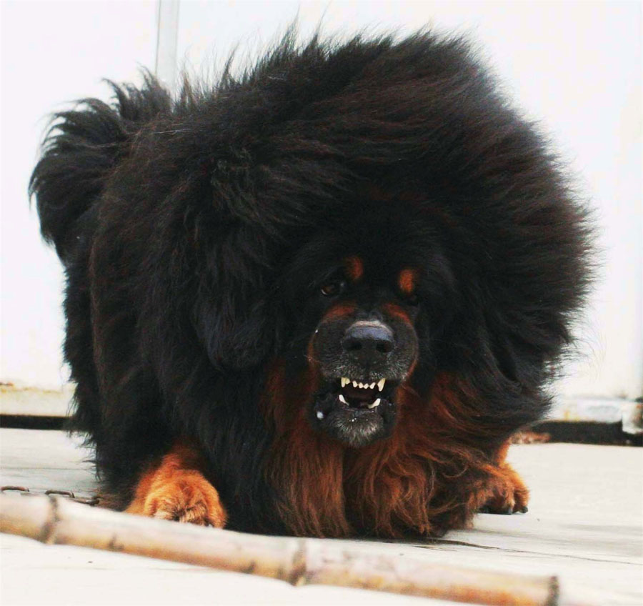 Giant Black Fluffy Dog
