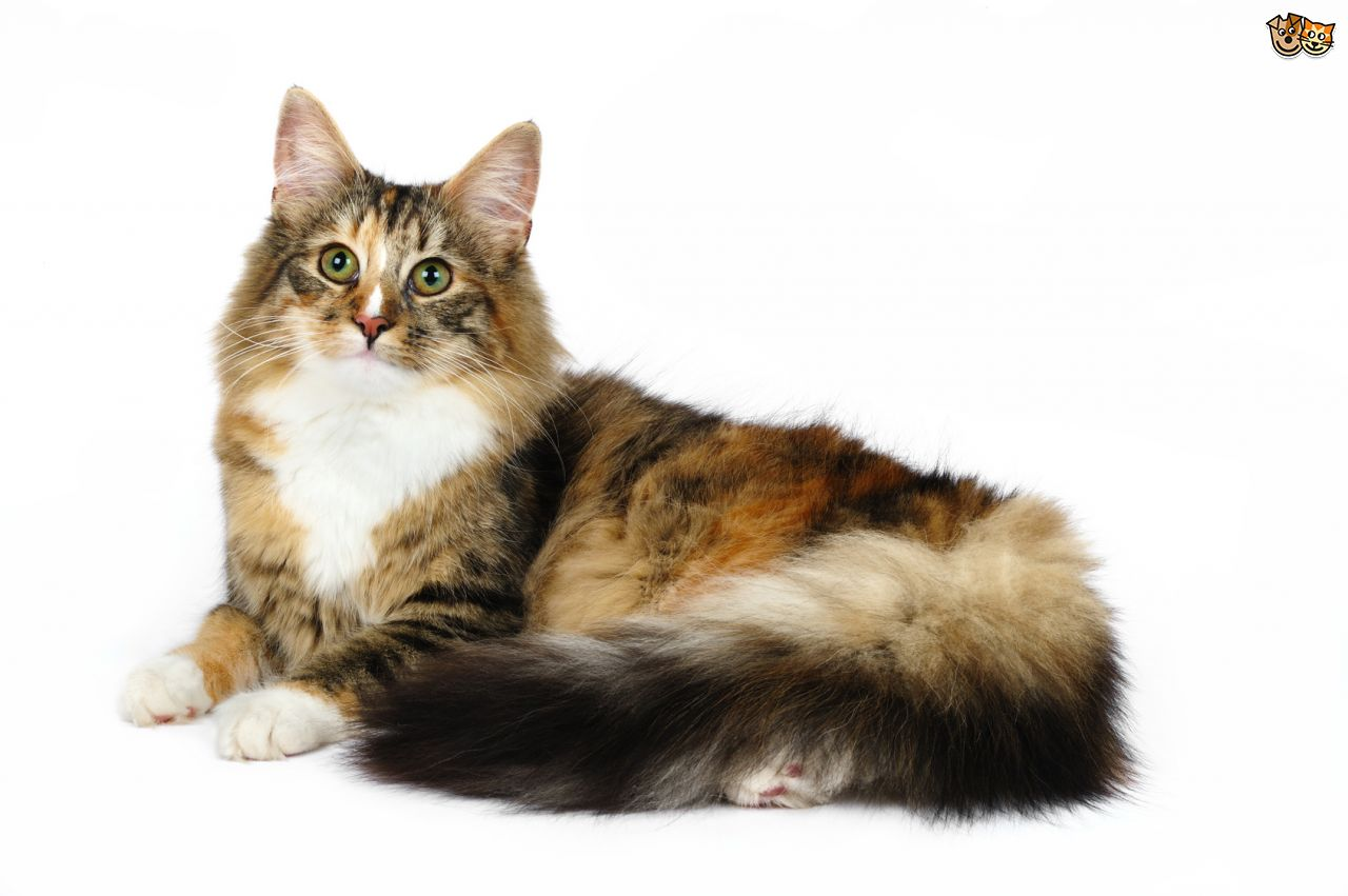 Maine Coon Norwegian Forest Cat Cross | Cute Cats