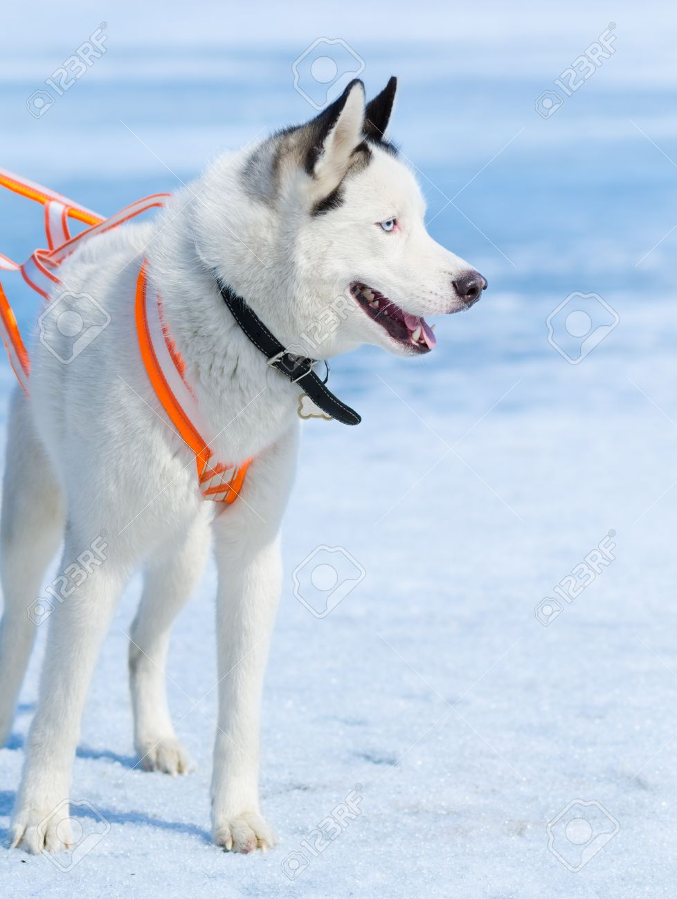 white husky dog for - photo #19