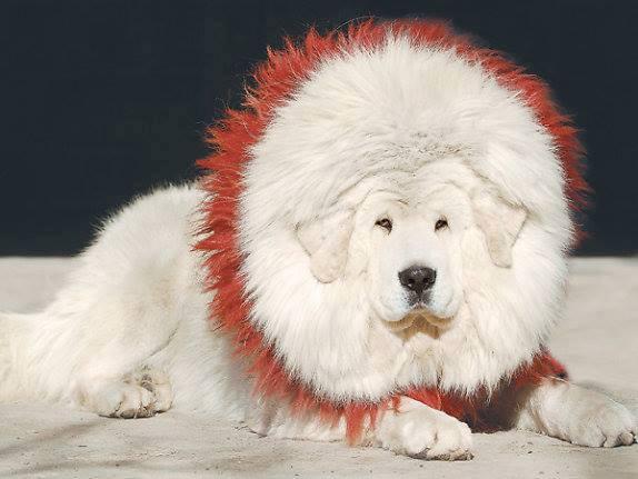 Tibetan Mastiff Dog Askideas