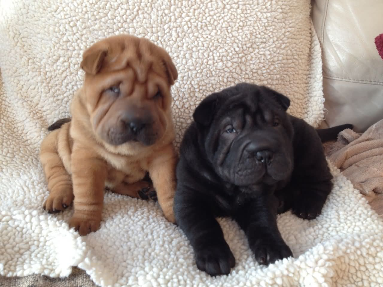 Cute Shar Pei Puppy Photos And Pictures