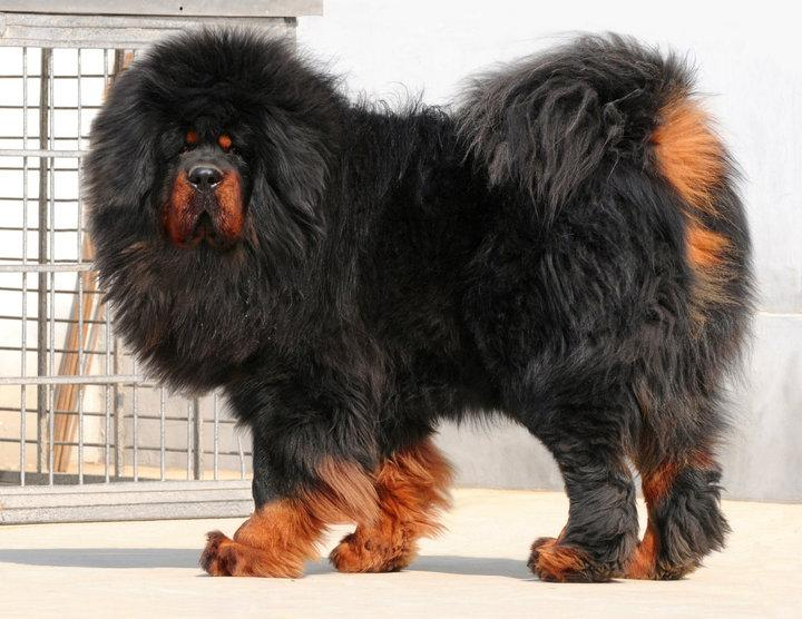 50+ Very Beautiful Tibetan Mastiff Dog Photos And Images