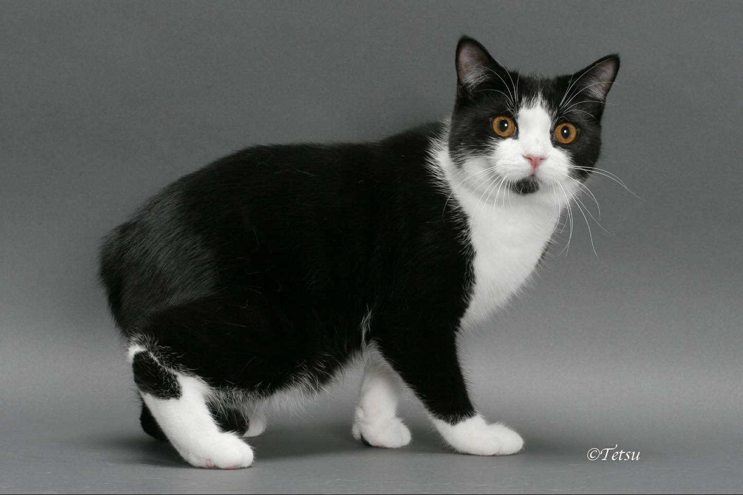 Black And White Manx C...