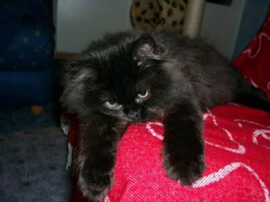 15 Most Awesome Black Himalayan Cat Photos And Images