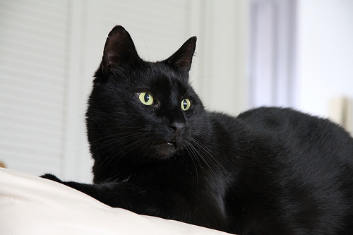 30 most beautiful black manx cat pictures and images