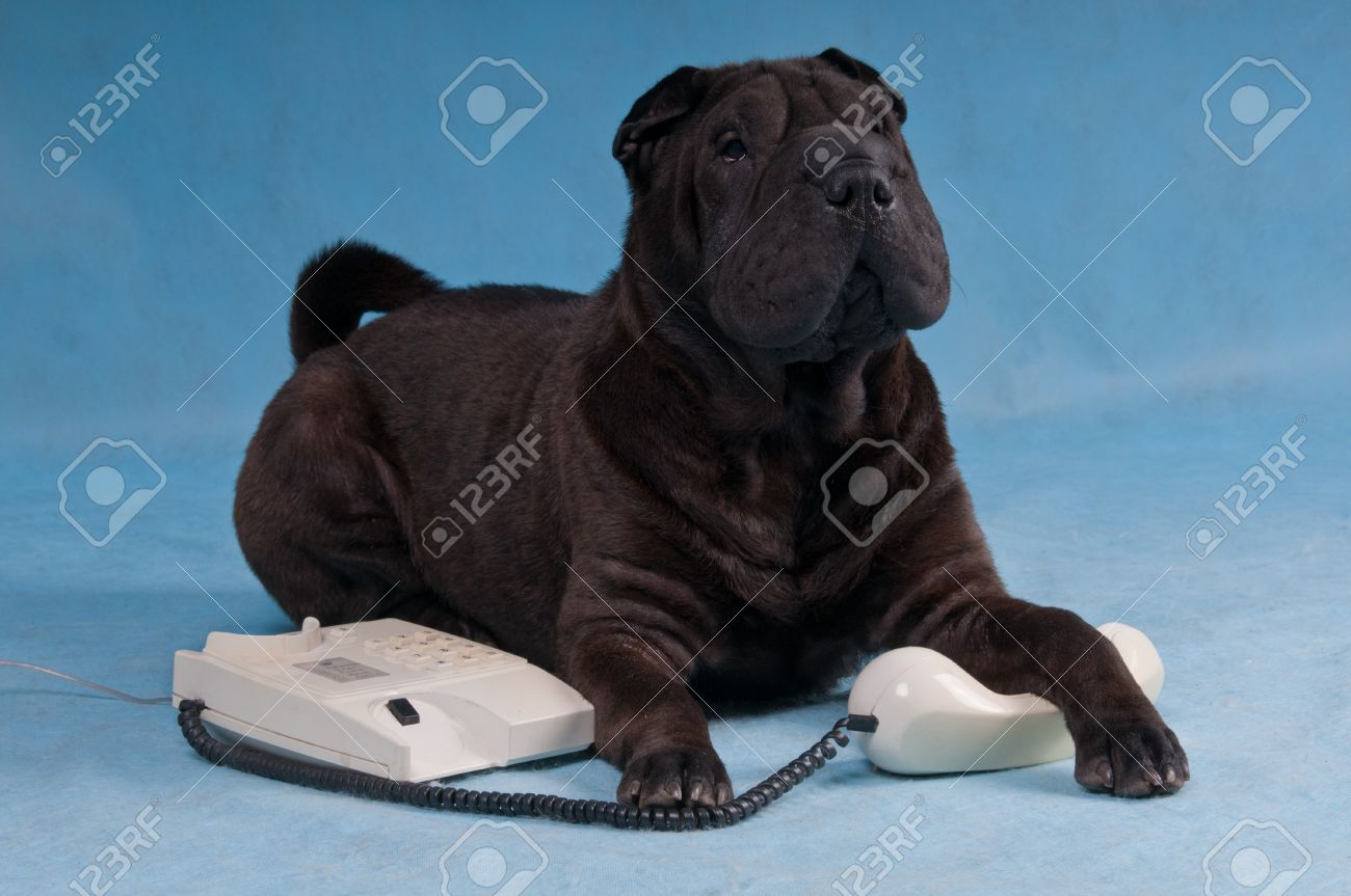 30 Most Awesome Black Shar Pei Dog Photos And Images