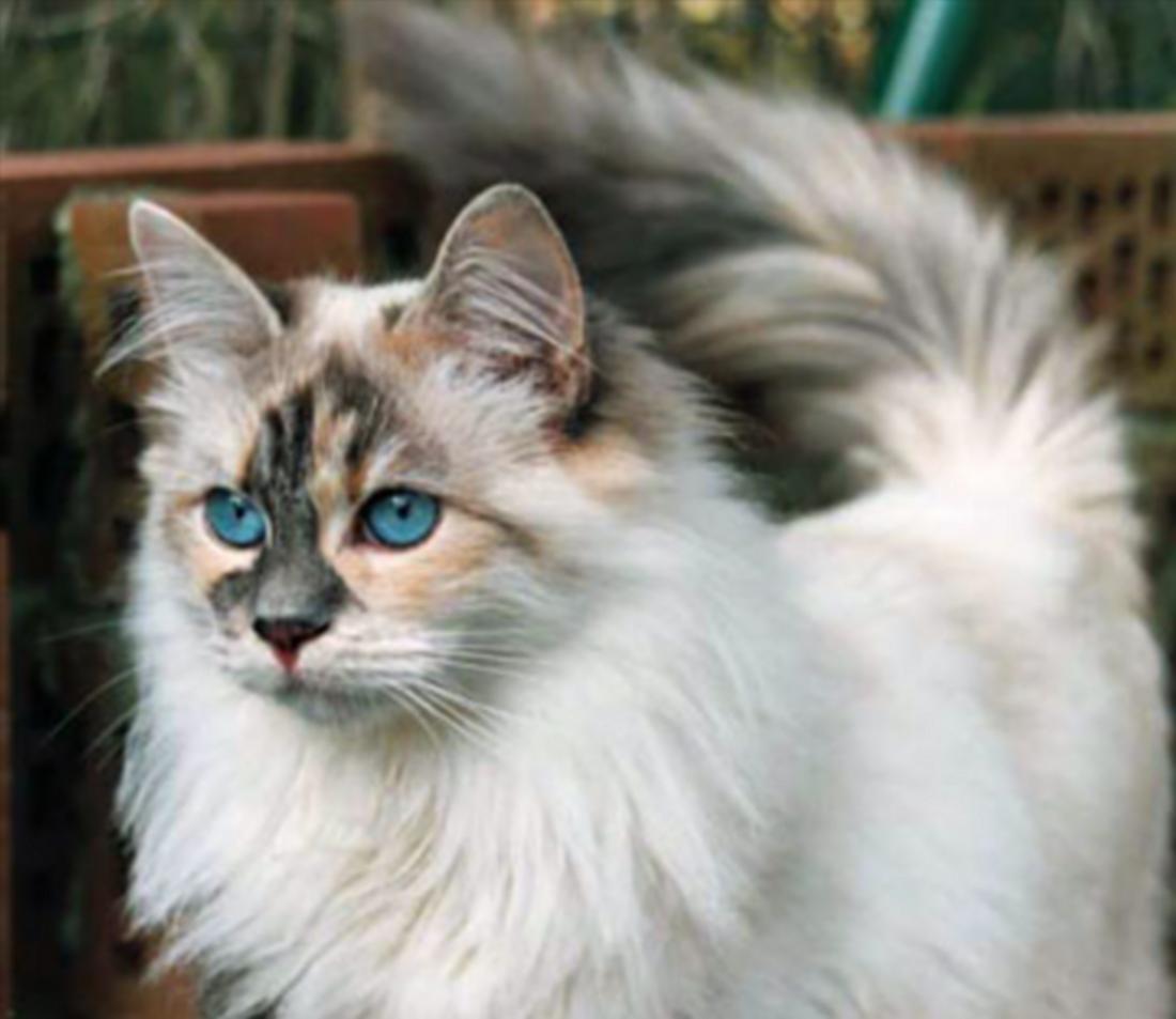 30 Very Beautiful Siberian Cat Photos And Images