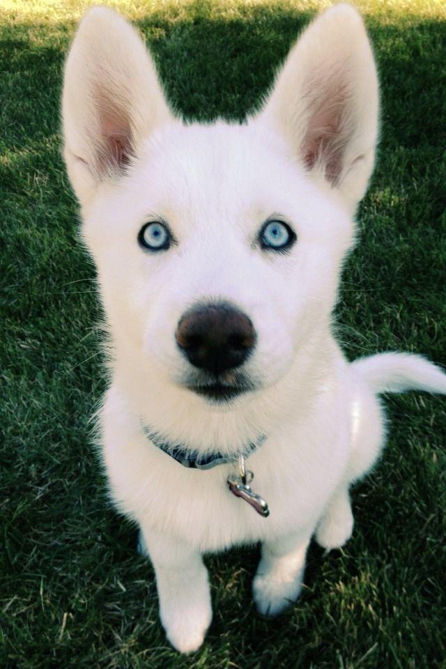 Very Beautiful White Siberian Husky Dog