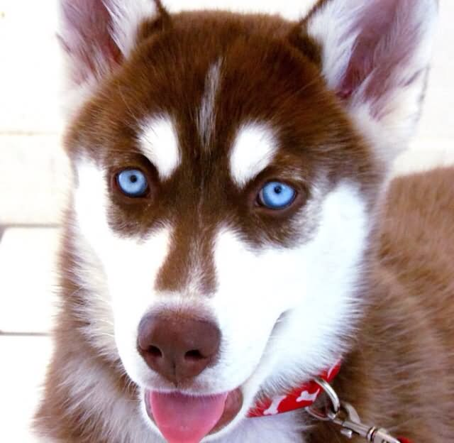 25 Very Beautiful Red Siberian Husky Dog Photos And Images