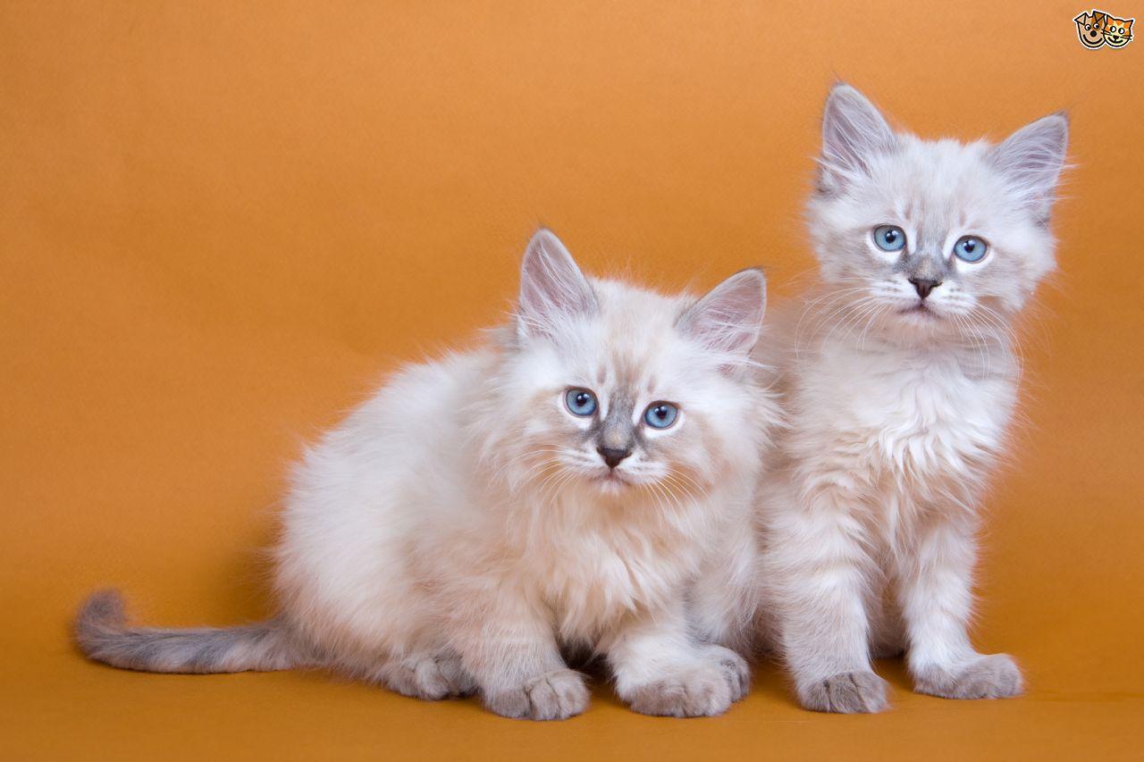 30 Very Beautiful Siberian Cat s And