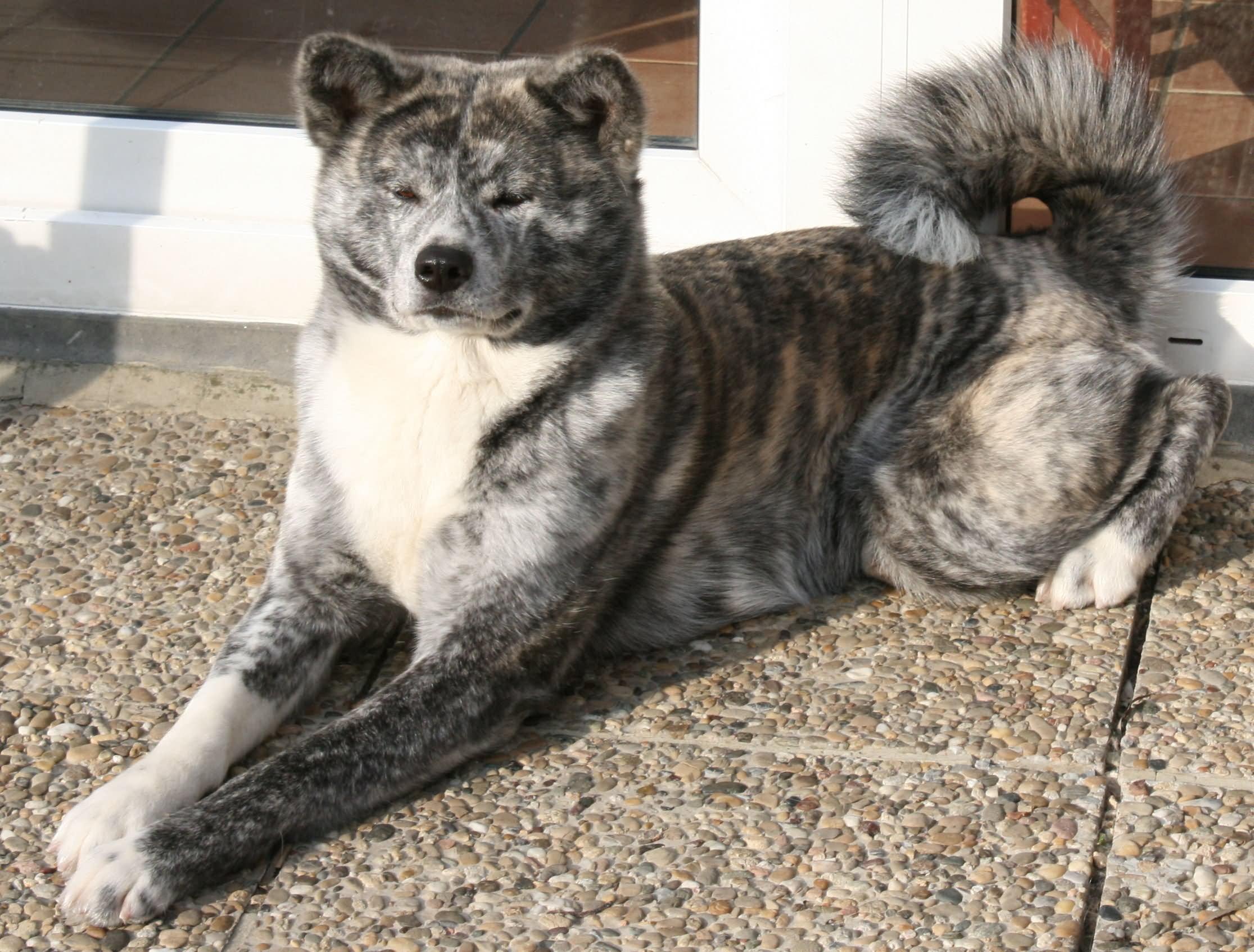 Brindle Akita Dog Sitting