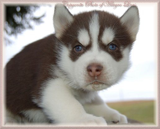 65 Very Cute Siberian Husky Puppy Pictures And Images