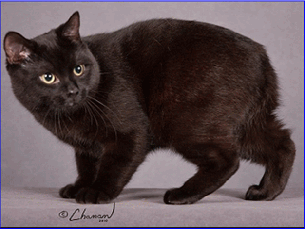 Brown Manx Cat