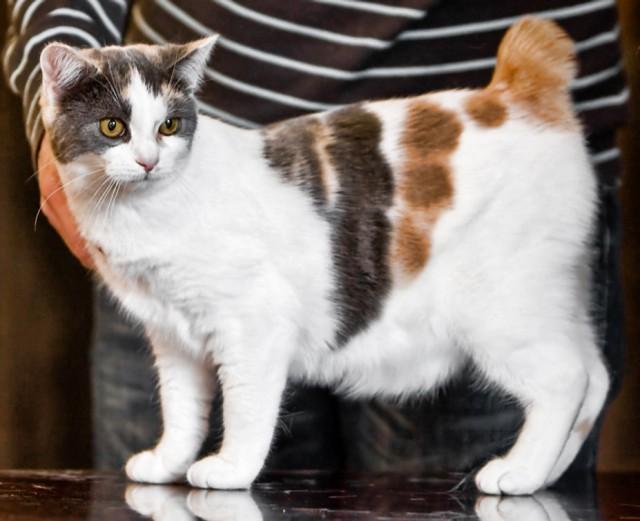 Calico Manx Cat Pictur...