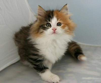 50+ Very Cute Norwegian Forest Kitten Pictures And Photos