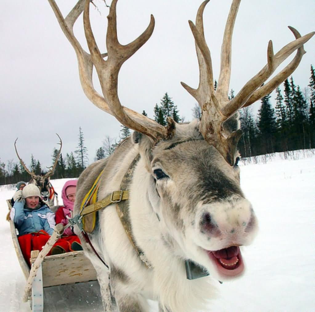 Closeup Face Funny Reindeer Image