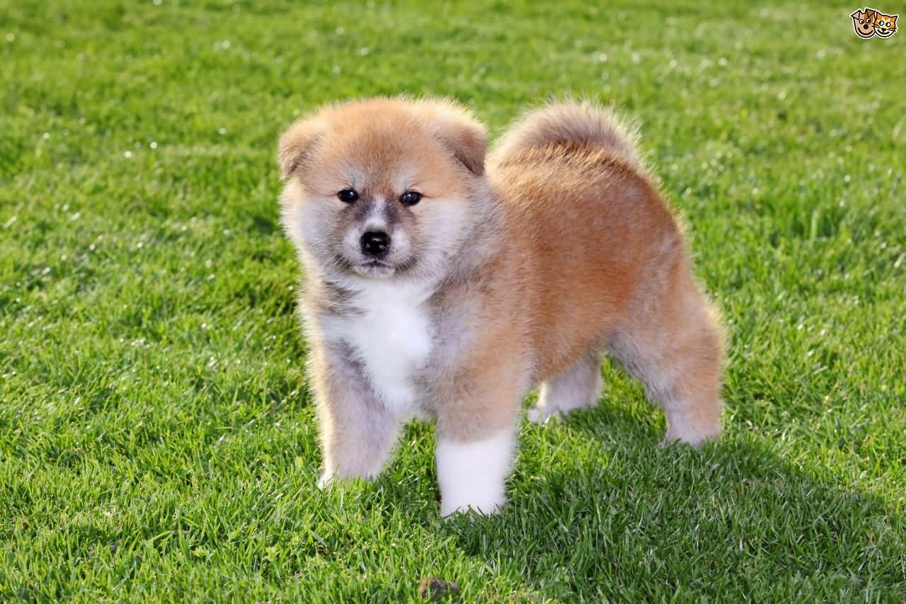 A Akita Dog 50 Very Beautif...